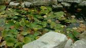 waterplant : Lotus leaf in pond,rockery stone and shaking water.