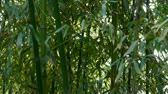 forest : wind shaking bamboo,quiet atmosphere in sunshine.