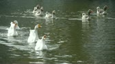 vários : Goose,Ducks geese and swans swimming on water,lake. Stock Footage