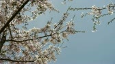 health : beautiful cherry blossoms tremble in wind.