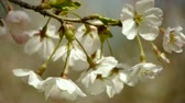 cherrytree : beautiful cherry blossoms tremble in wind.