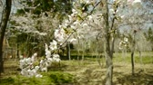 flower growing sun : beautiful cherry blossoms tremble in wind.