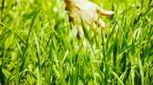 Lush weeds in wind,grassland,Wheat seedling,barley,wild-herbs,vegetables.