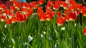 kırpma : Tulips in full bloom. Stok Video