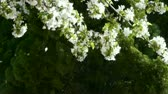 cherrytree : beautiful cherry blossoms tremble in wind,pine.