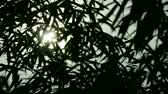 ротанг : wind shaking bamboo silhouette,quiet atmosphere in sunshine.
