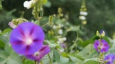 ipomoea : morning glory in lush wild leaves.agriculture farmland at rural. Stock Footage