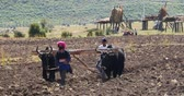 shangrila : 4k Tibetan people use strong yak to plough the arable land in Shangri-la Yunnan, China.
