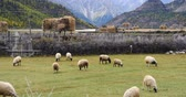 pradaria : sheep grazing on the prairie,clouds mass rolling over snow-Covered mountains,ranwu lake in Tibet.
