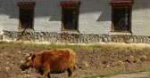 shangrila :  yak on the field,shangrila yunnan,china. Stock Footage