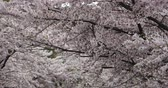 flower growing sun : sakura,beautiful cherry blossoms tremble in wind. Stock Footage