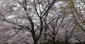 flower growing sun : tourists to view sakura,cherry blossoms festival in QingDao park,china. Stock Footage