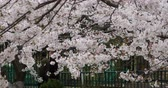 fukushima : tourists to view sakura,cherry blossoms festival in QingDao park,china. Stock Footage