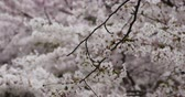 celebration : 4k sakura,beautiful cherry blossoms tremble in wind. Stock Footage
