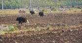 shangrila : 4k yak stroll on the land that After harvesting in shangrila yunnan,china. Stock Footage