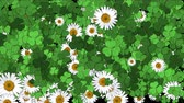 auspicioso : 4k Clover white daisy plant vegetation leaf blade background.