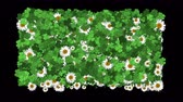 трилистник : 4k Clover white daisy plant vegetation leaf blade background.