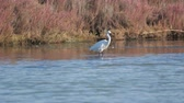 ornitologie : heron walks across the lake in search of food Dostupné videozáznamy