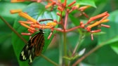 percevejo : exotic butterfly feeds on flower