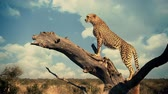 A slow motion zoom in with a cheetah on a thick branch.