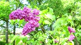 laborious bumblebee flying around lilac branch gathering nectar while wind swinging tree Stock Footage