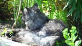 domestic : Grey cat lying in the grass Stock Footage