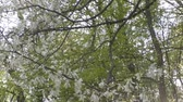 smell : Beautiful magnolia flowers bloom in the park Stock Footage