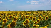 golden : video of sunflowers blooming field Stock Footage