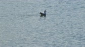 rallidae : Small bird swimming in the pond of platamona, Sardinia