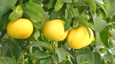 ботаника : Three grapefruits on the tree in spring Стоковые видеозаписи