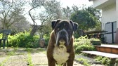 guarda : Closeup of german boxer dog in a garden