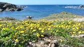 mediterranean sea : View of the sardinian beach of Womans thigh, Stintino, with flowers in foreground