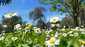 trawnik : Closeup of daisy flowers in a meadow in sunny spring day