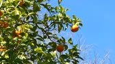 tangerina : Oranges on the tree under a blue sky in sunny spring day