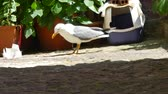 gyalogló : Seagull eating in an alley in the village of Castelsardo in a sunny day