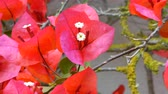 red petals : Closeup of red bougainvillea flowers in a sunny day Stock Footage