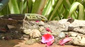 camaleonte : lizard eating an insect in a garden in a sunny day Filmati Stock