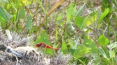 dragonfly : Closeup of red dragonfly in a meadow in spring Stock Footage