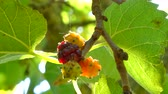prérie : Closeup of multicolored mulberries on the tree in a sunny day