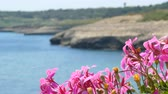 view of crowded Balai beach, in Sardinia, from behind flowers with change focus point Dostupné videozáznamy