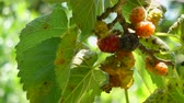 Closeup of multicolored mulberries on the tree in a sunny day