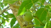 Closeup of fresh walnuts on a tree in sunny day of summer 動画素材
