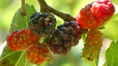 Closeup of multicolored mulberries on the tree in sunny day