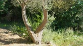 işçiler : Stop motion of pruning olive tree in windy and sunny day Stok Video