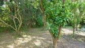 buda : Stop motion of pruning citrus tree in sunny day