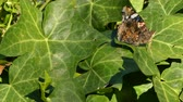 Closeup of butterfly on ivy leaves
