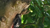 penas : Closeup of great spotted woodpecker on a tree