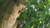Closeup of great spotted woodpecker on a tree