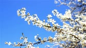 opening : spring blooms Stock Footage
