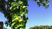 food and drink : pears on the tree Stock Footage